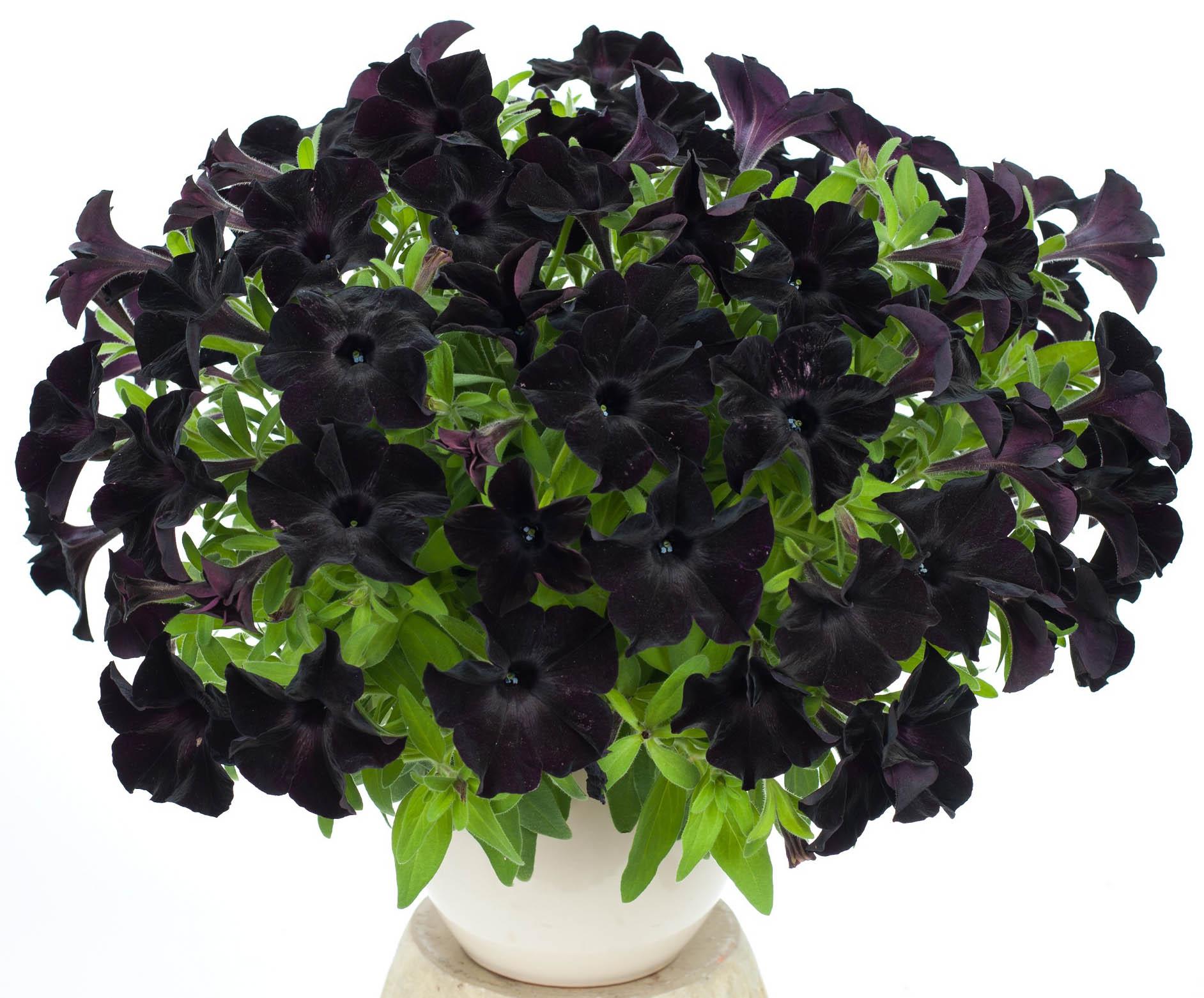 Цветы петунья черная